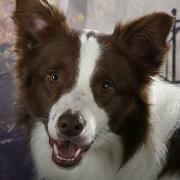 border collie dekreu: planned winner from izzy's footsteps
