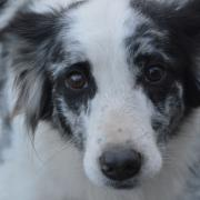 2 border collies ter adoptie