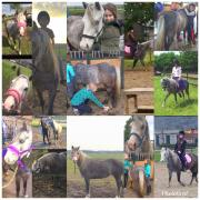 Lieve, betrouwbare familie pony merrie welsh 1.19